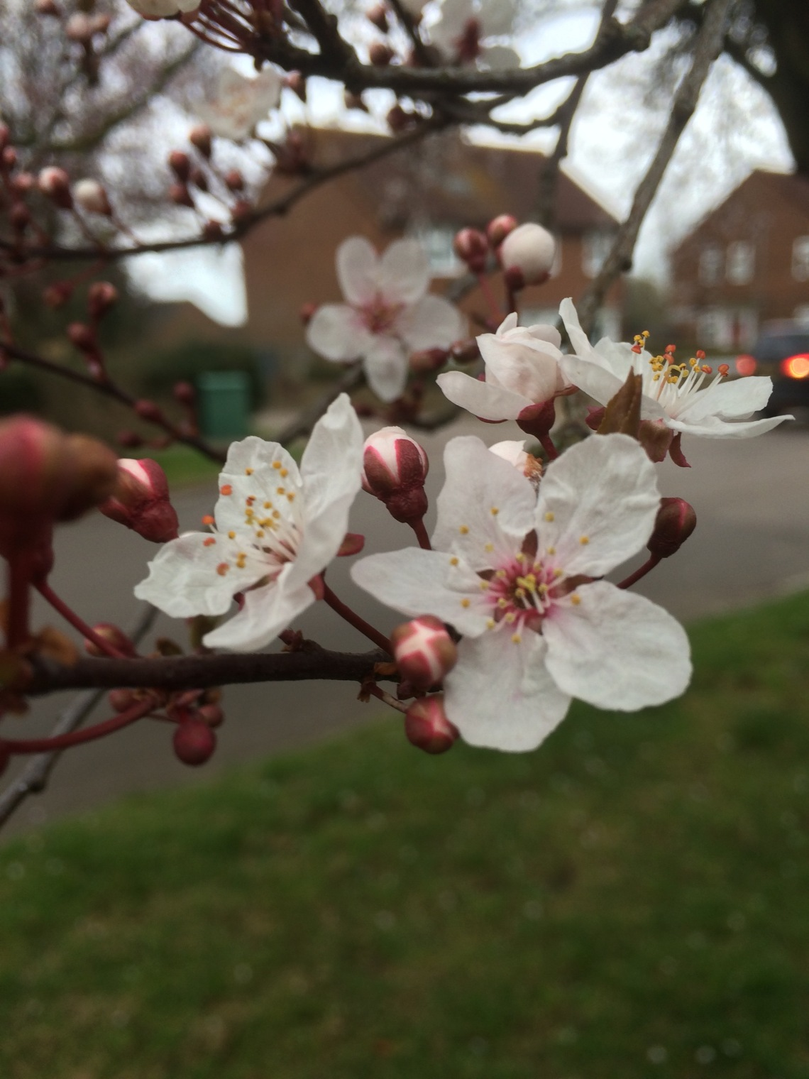 Not my best photo; I only had my iPhone on me but I needed to take a shot of my first blossom of the year!