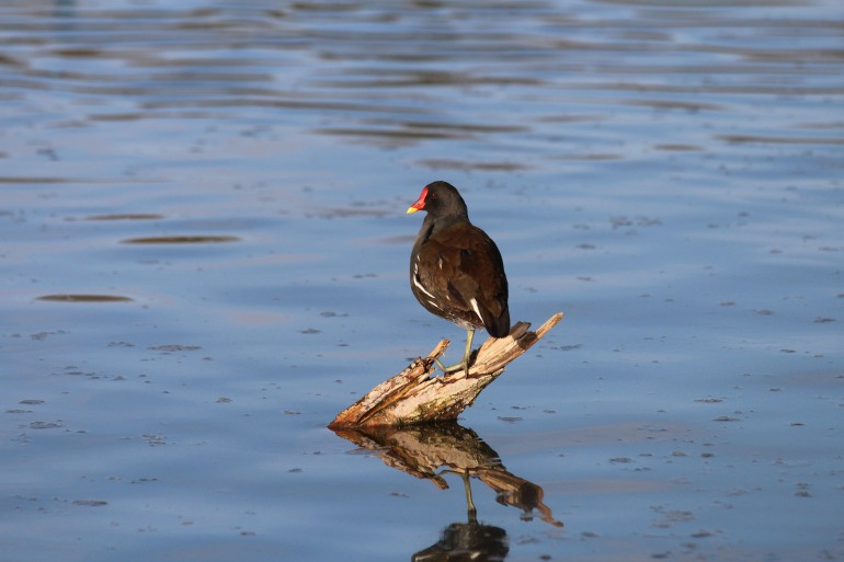 Very Generous Posing From This Moorhen