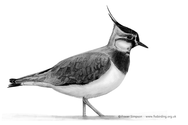 Lapwing illustration - not my image