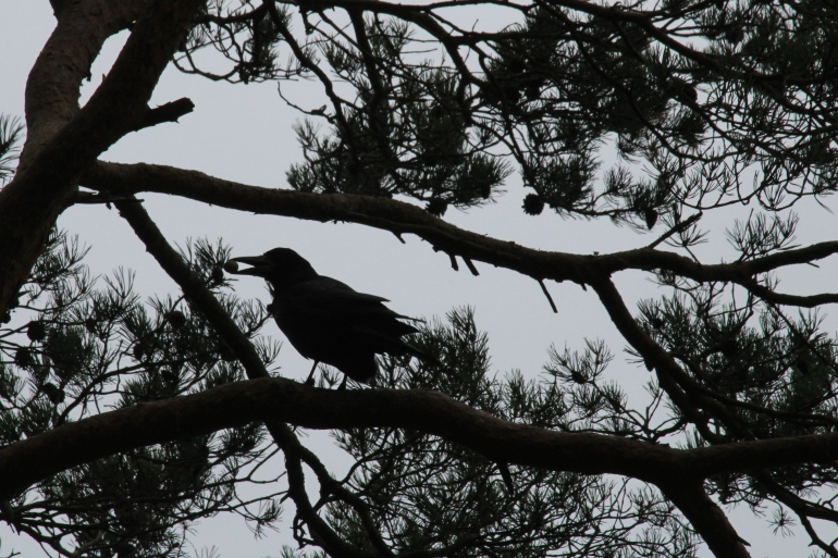 Silhouetted Rook in the Trees