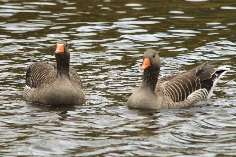 A Pair of Greylag Geese