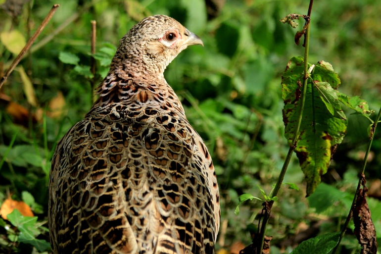 Female Pheasant in the Undergrowth