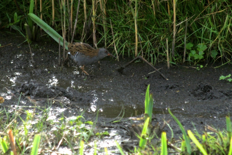 The secretive Water Rail wading through the reeds