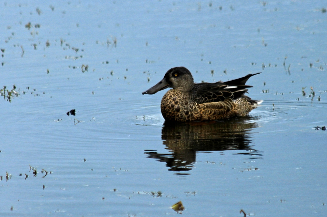 Female Shoveler On The Lake