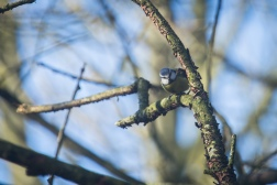 Blue Tit in the Trees
