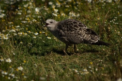 Young Gull Calling
