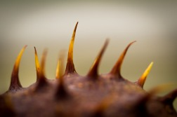 Conker Shell Spines