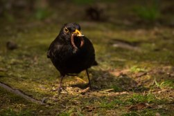 Blackbird with a Meal