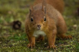 Red Squirrel Up Close