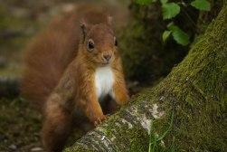 Inquisitive Red Squirrel