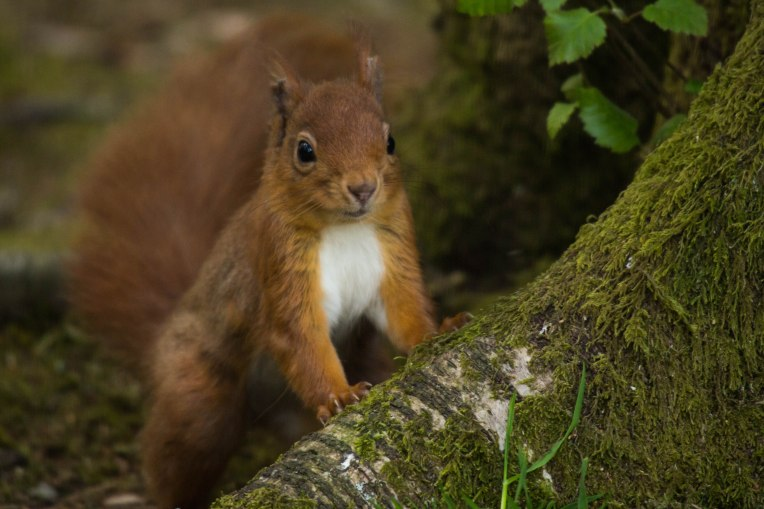 Inquisitive Red Squirrel
