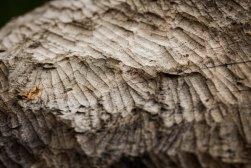Beaver Teeth Marks