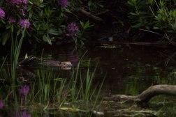 Eurasian Beaver Swimming