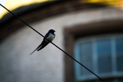 Swallow Resting