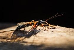 Sabre Wasp