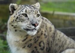 Snow Leopard (captive)