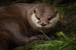 Asian Short-Clawed Otter (captive)