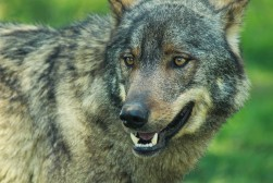 Grey Wolf (captive)