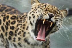 Jaguar (captive)
