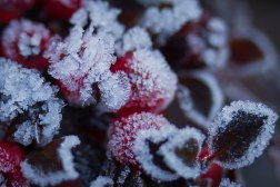 Red Berry Frost