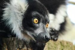 Lemur (captive)