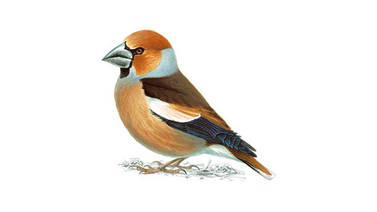 hawfinch_male_breedingplumage_1200x675