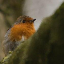 19 - Robin