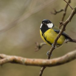 8 - Great tit