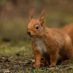 9 - Red squirrel standing