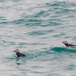 7 - Puffin pair at sea