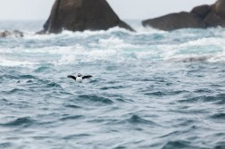 Puffin In The Waves