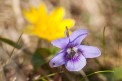 Dog Violet In The Sun