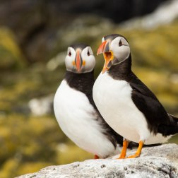 29 - Puffin pair standing