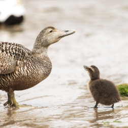 27 - Eider ducks