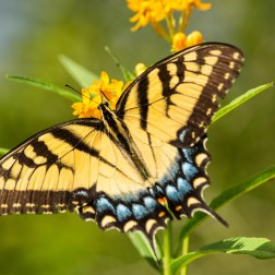 24 - Swallowtail butterfly