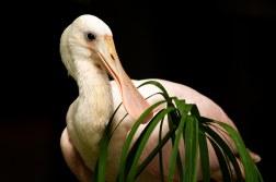 Roseate Spoonbill (captive)