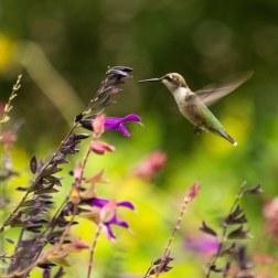 25 - Hummingbird