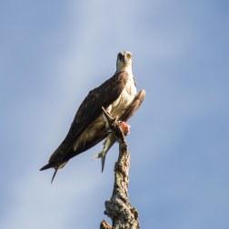 23 - Osprey