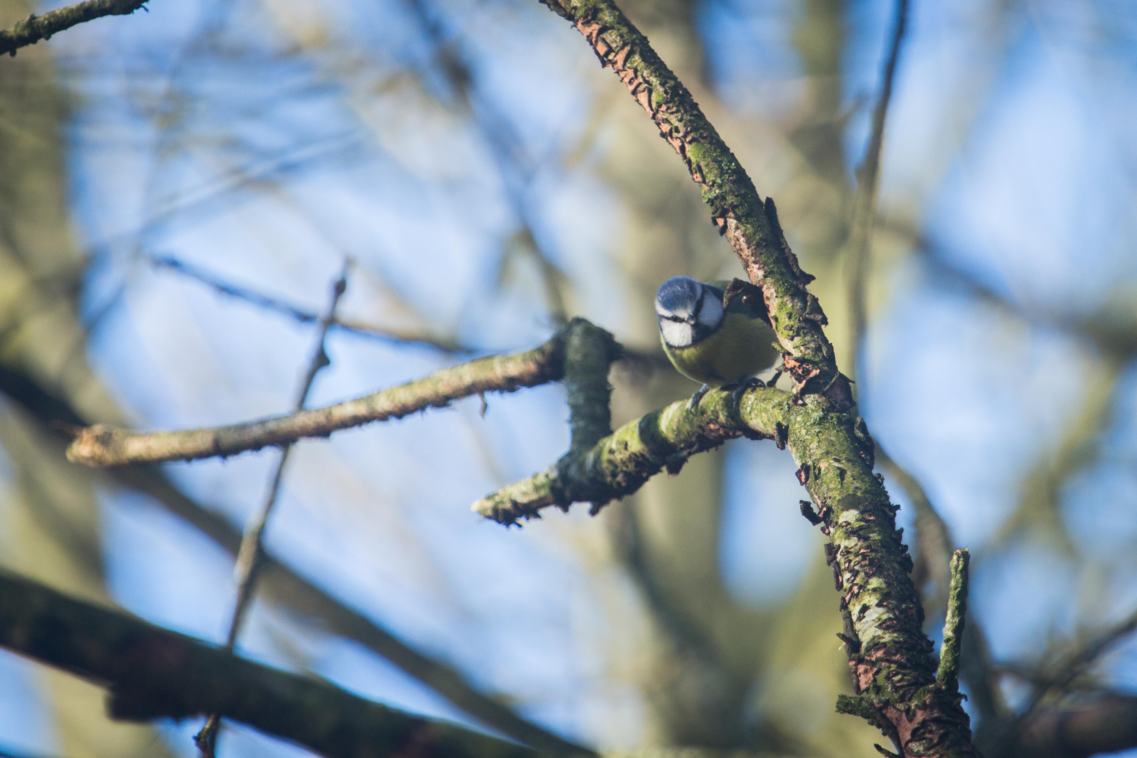 BinD 1 Rebecca Blue Tit-2